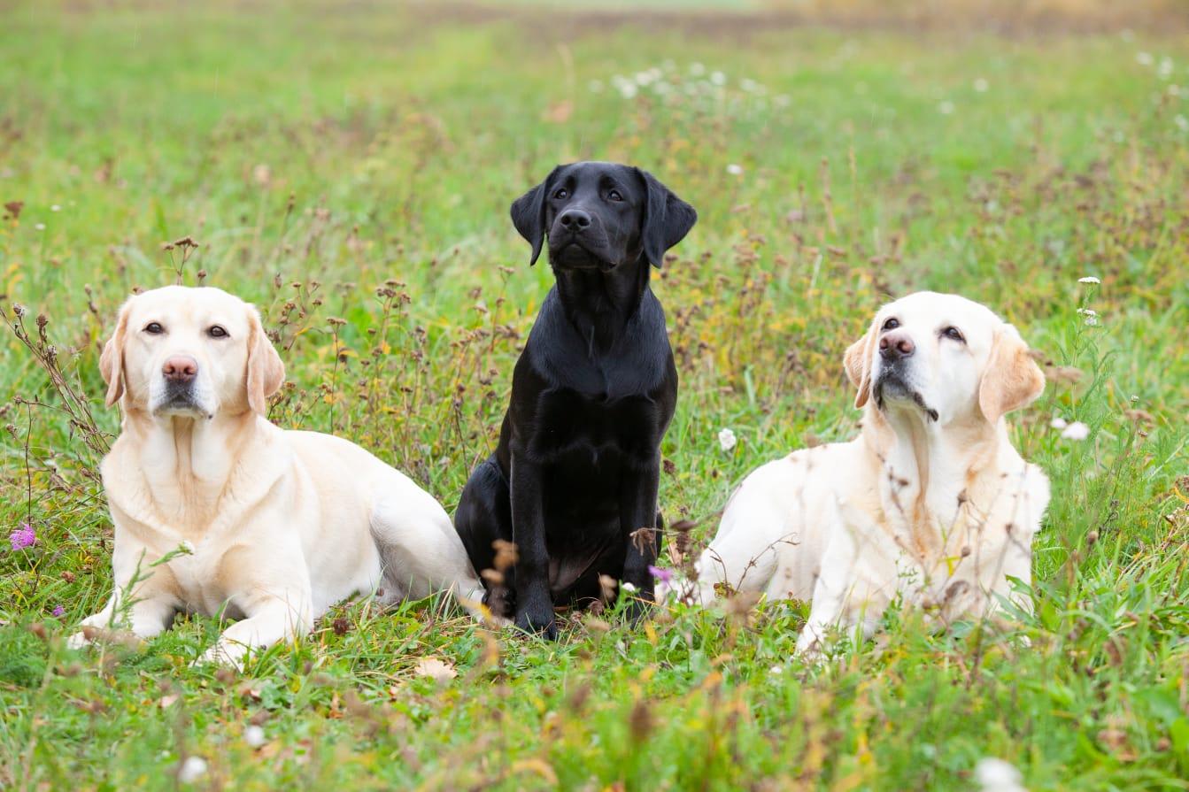 Compagnionsforever Labrador Retriever Wir Uber Uns